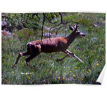 Mule deer spike on the run Poster