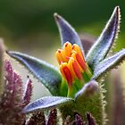Kangaroo paw up close & personal by Celeste Mookherjee