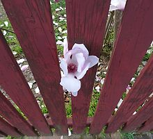 Red Fence Magnolia  by scholara