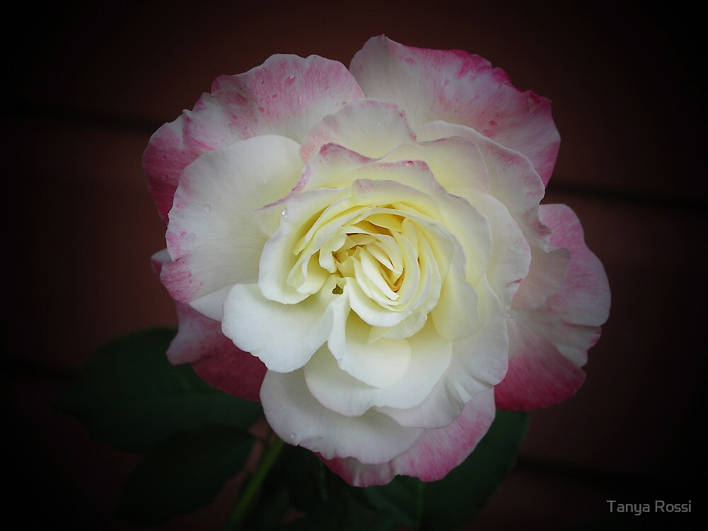 A Touch of Pink by Tanya Rossi