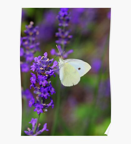 Butterfly on Lavendel Poster