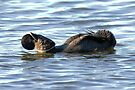 The Dance of Love - Male Musk Duck. by Alwyn Simple