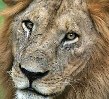 Old lion in Ruaha - Tanzania by AndrewSansom