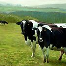 "Fresian Cows ~ ""The Vann Herd"" (England UK) by Simon Groves"