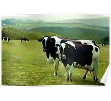 "Fresian Cows ~ ""The Vann Herd"" (England UK) Poster"