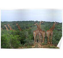 Giraffe group Poster