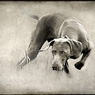 Weimaraner Intensity by Leslie Nicole
