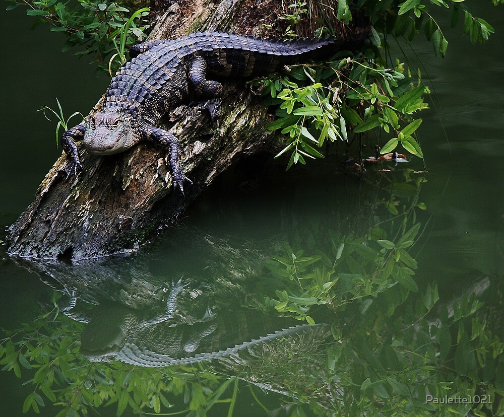 Baby Alligator Reflection by Paulette1021