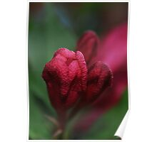 Red Weigela Bud in the evening Poster