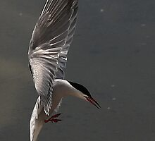 The Common Tern by snapdecisions