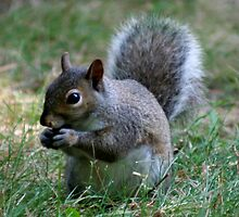 Squirrel Eating a Nut - NY by denisespictures