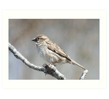 House sparrow perched on branch Art Print