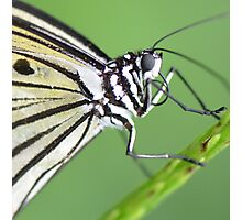 """""""Smiley"""" - A Paperkite Butterfly Photographic Print"""