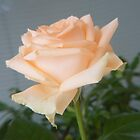 rose apricot by LisaBeth