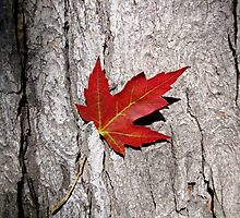 Maple Leaf by AndreCosto