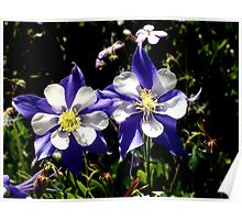 Twin Columbines Poster