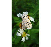 "So delightfully ""bella""!  The beautiful Ornate Bella Moth Photographic Print"