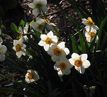 """""""Daffodils"""" by dfrahm"""