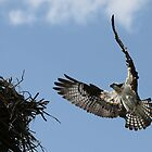 Osprey by Marty Samis