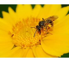 wasp and daisy Photographic Print