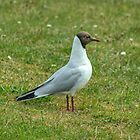 Adult Black-headed Gull  by VoluntaryRanger