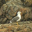 Adult Lesser Black-backed Gull by Jamie  Green