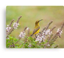 Bird in the Basil Canvas Print