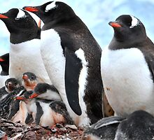 Gentoo penguins with babies by Marieseyes