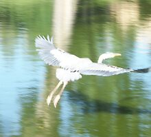 Blue Herron in Flight by Gordon Pegler