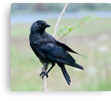 Jackdaw in the rain Canvas Print