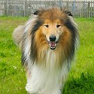 The Rough Collie (Sable&white) by Lou Wilson