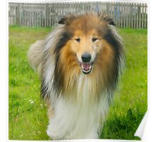 The Rough Collie (Sable&white) Poster