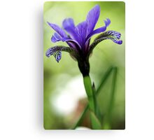 Holt Pond - Blue Flag (Iris) Canvas Print