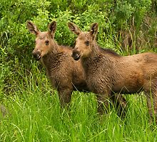 Pair of Young Moose Calves together by Greg Schneider