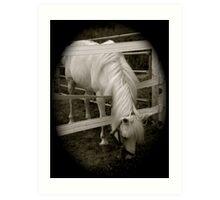 white horse 2 Art Print