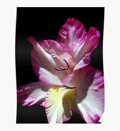Gorgeous Gladiola  Poster