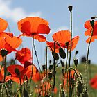 Poppies by Jon Laysell