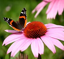 Red Admiral Butterfly by Brent McMurry