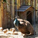 PeaHen with her PeaChicks by Marjorie Wallace