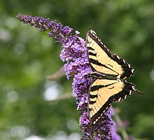 Summer Wings - Eastern Tiger Swallowtail by WalnutHill