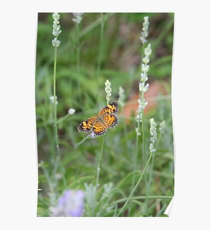 Summer Wings - Silvery Checkerspot Poster