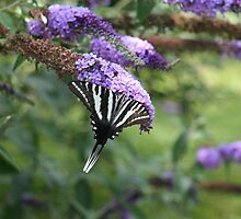 Summer Wings - Zebra Swallowtail by WalnutHill
