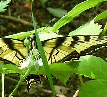 Tiger Swallowtail by rborrows