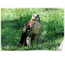 Red Tailed Hawk 2 Poster