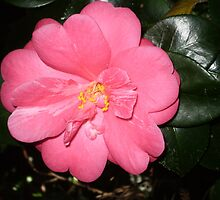 Stunning Camellia by pinetrees