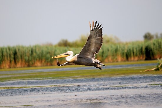 Flight of the Dalmatian Pelican by Derek McMorrine