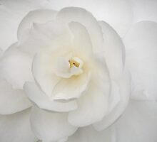 Camellia Early Pearly by Melissa Stevenson