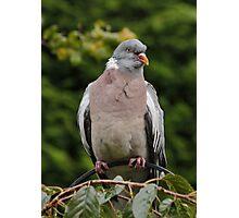 Wood Pigeon Photographic Print