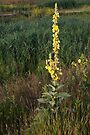 Great or common mullein by steppeland