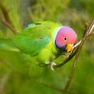 Did You Know I&#x27;m A Plum Head?!! - Plum-Headed Parakeet -NZ Dunedin by AndreaEL